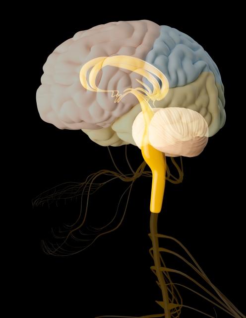爬虫類脳といわれる脳幹について~言語聴覚士というお仕事~